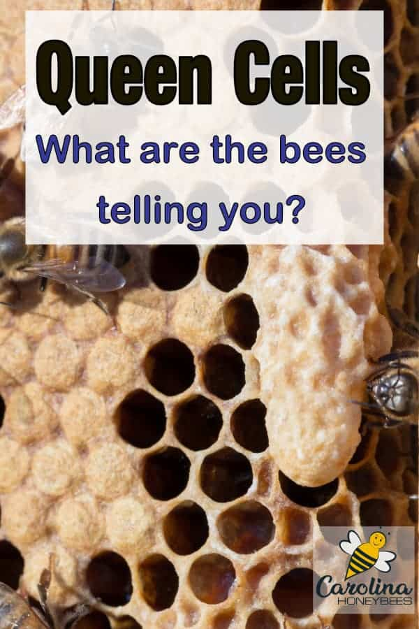 queen cells on a honeycomb - queen cells - what are the bees telling you