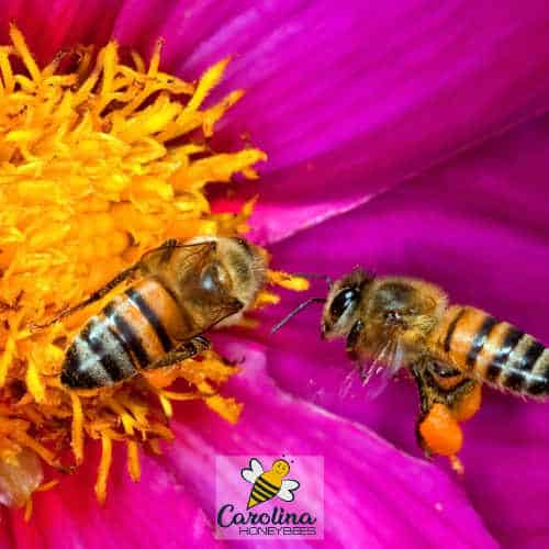 honey bees gather nectar and pollen to eat