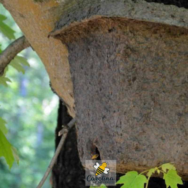 using pulp bait hive for attracting bee swarms