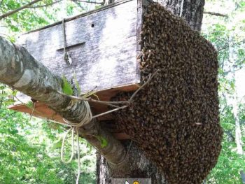 large bee swarm entering bait hive