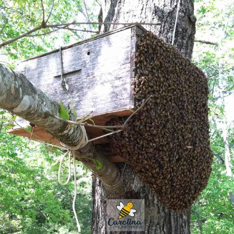 large bee swarm entering bait hive