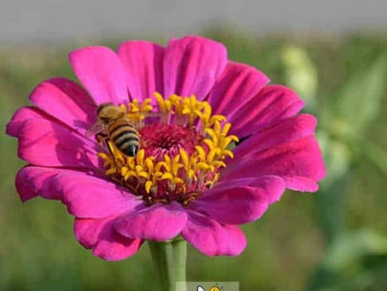 bee on zinnia one of the best flowers for bees