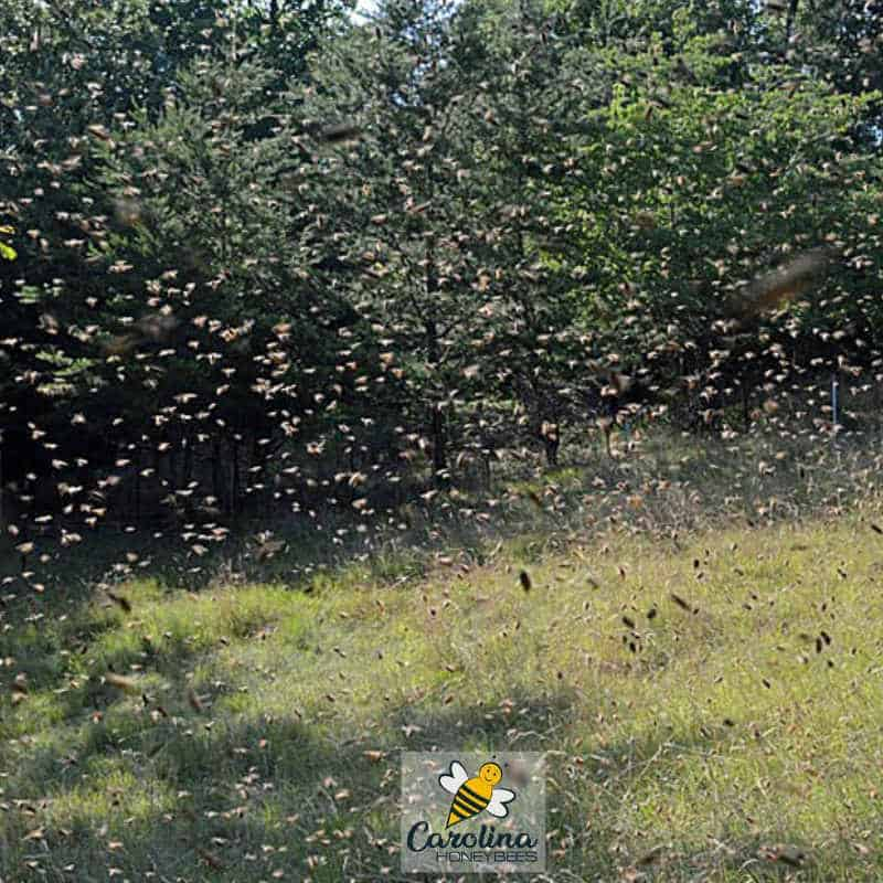 view from inside the bee swarm while catching a swarm