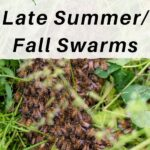 small swarm of bees in grass - what to do with late summer fall swarms