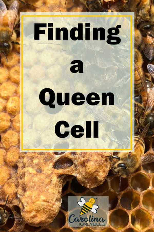 queen cell on frame - finding a queen cell