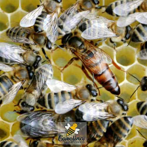 Large queen honey bees on comb with workers