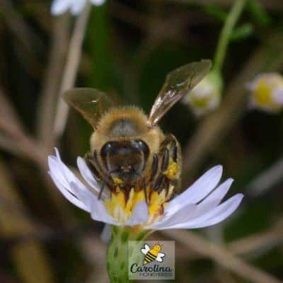 honey bees flying from flower to forage