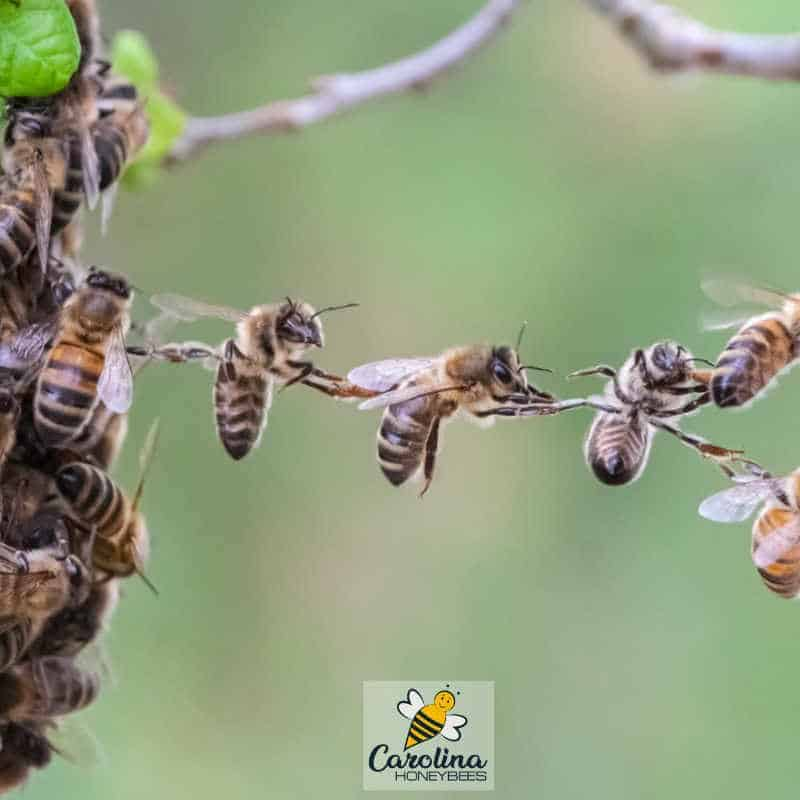 beekeepers strive to understand why honey bees hang in chances like these bees.
