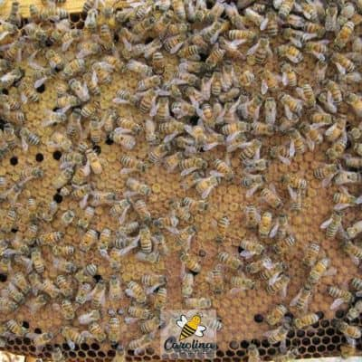 capped bee brood one stage of bee reproduction in the hive