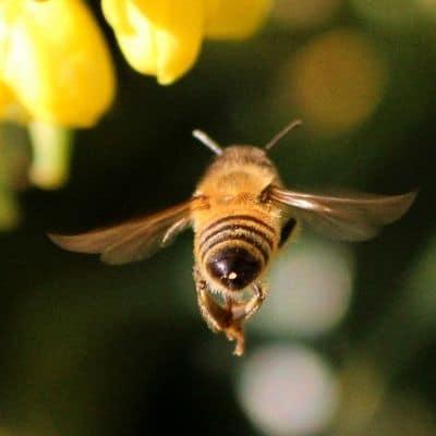 flying honey bee flaps wings
