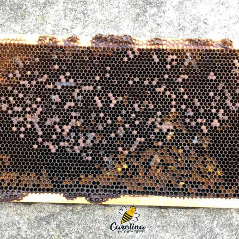 frame of brood from a dead beehive