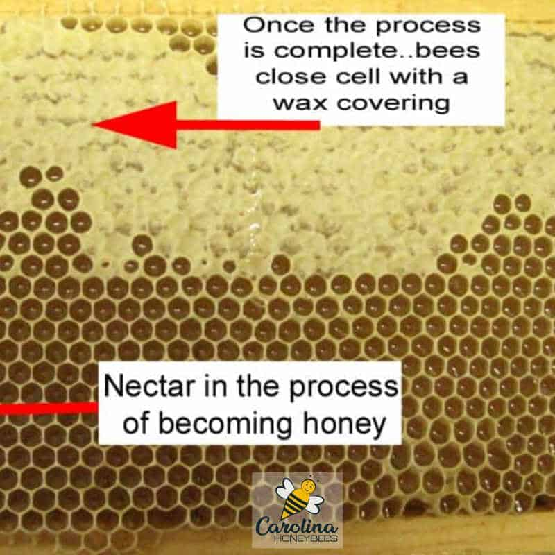 honeycomb - nectar and capped honey