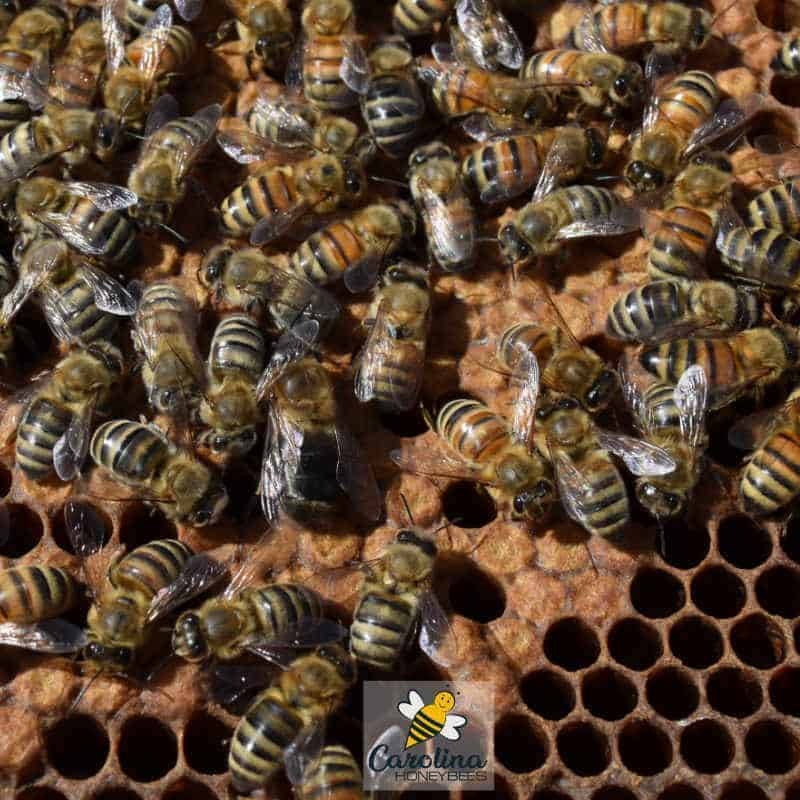 brood frame inside the hive during inspection