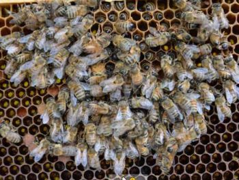 hive of dead honey bees on comb in a winter deadout