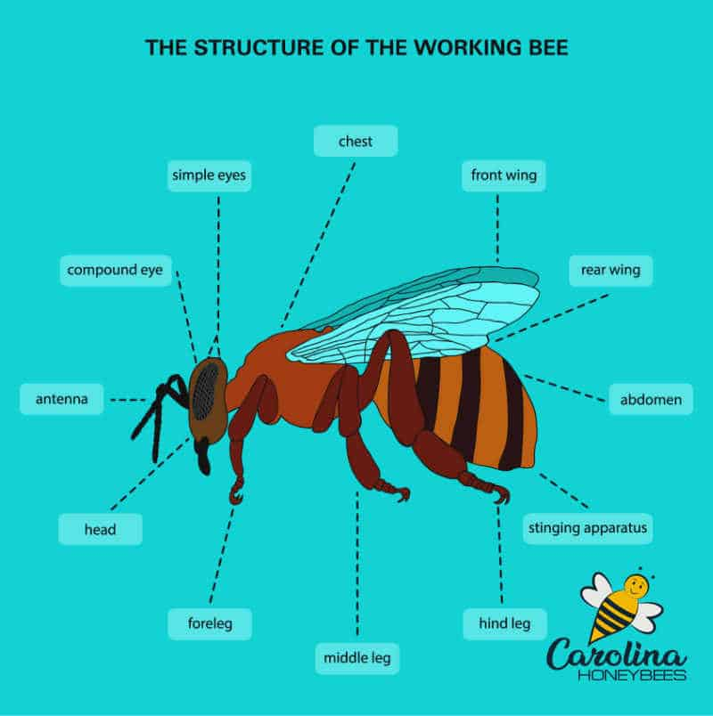 diagram of the parts of a honey bee insect