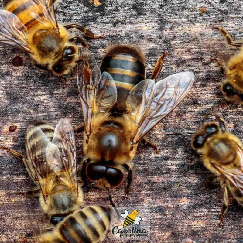 drone bee and worker bees in a hive