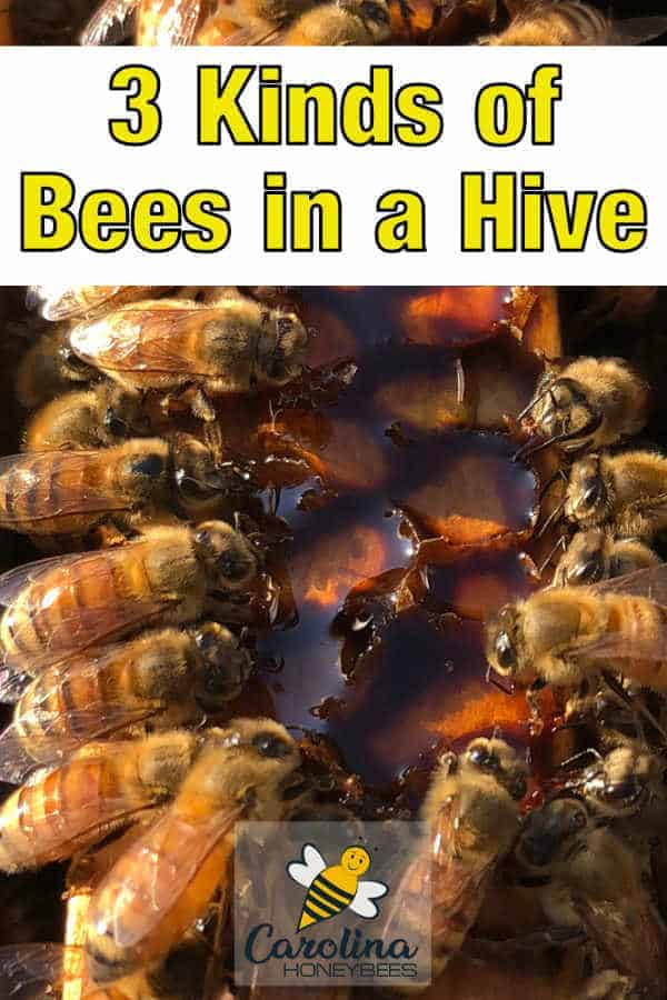 worker bees in a hive eating honey