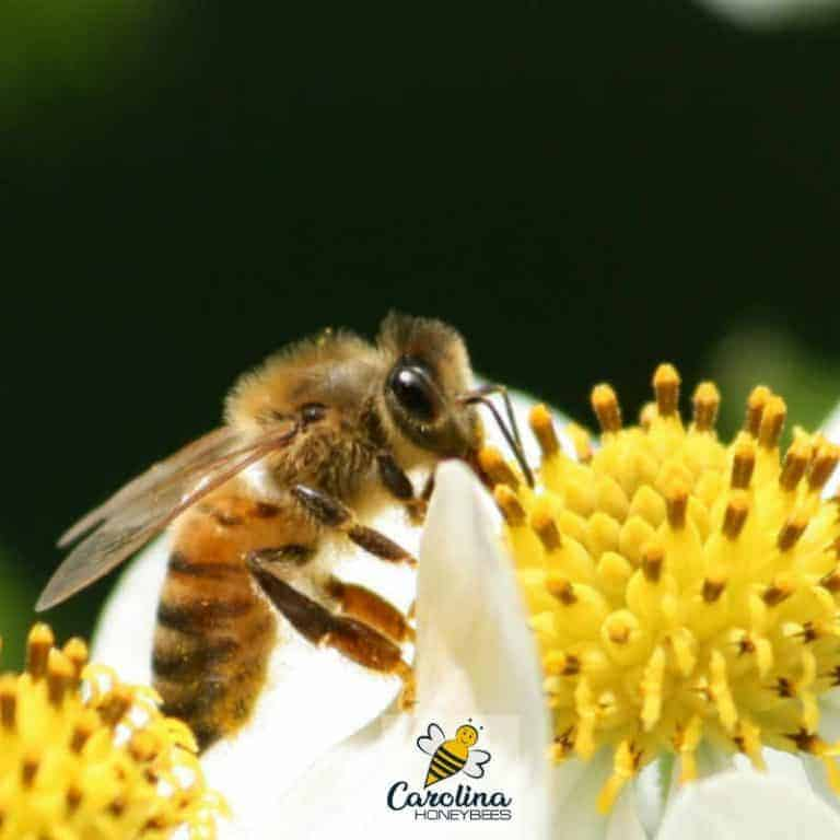 What is Apiphobia – Fear of Bees?