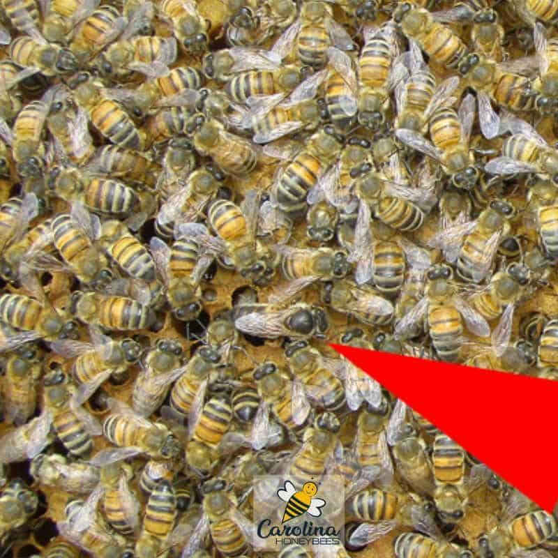 Queen bee with other kinds of bees in a hive