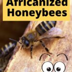 picture of a honey bee in a hive - what are africanized honey bees