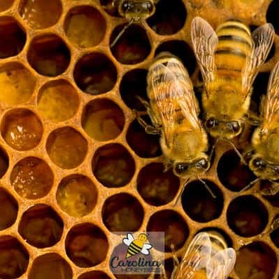 pollen stored in honey comb by worker bees