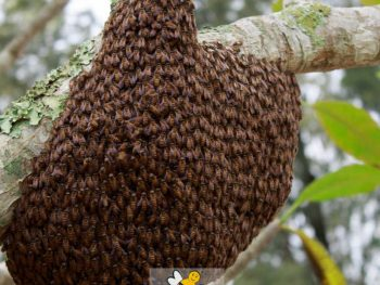 bee swarm in a tree