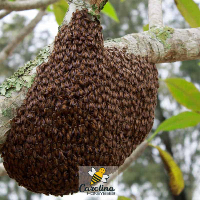 a bee swarm hanging in a tree