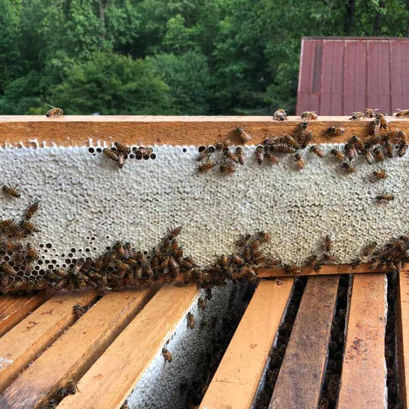 beehive management and hive inspection for a frame of honeycomb ready to harvest