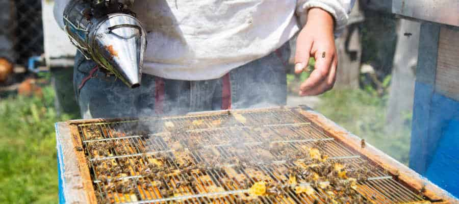 beekeeper with smoker involved in beekeeping with hives