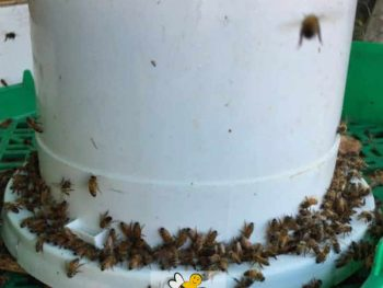 feeding bees sugar water in a bucket