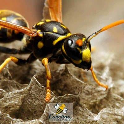 yellow jacket wasp on paper nest