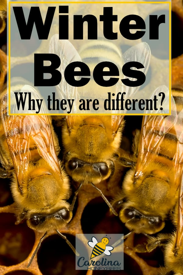 worker bees inside a hive - winter bees - why they are different