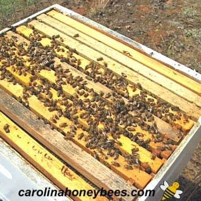 small fall colony of bees in a hive - at risk for winter