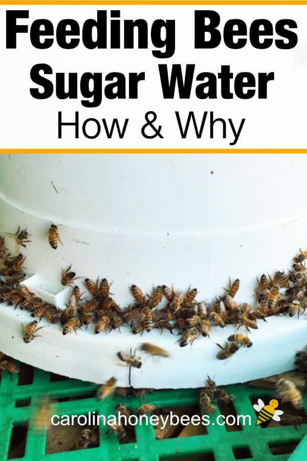 bucket used for feeding bees sugar water - bees drinking - how and why