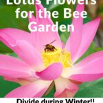 image of pink lotus flower with bee - lotus flowers for the bee garden - divide during winter