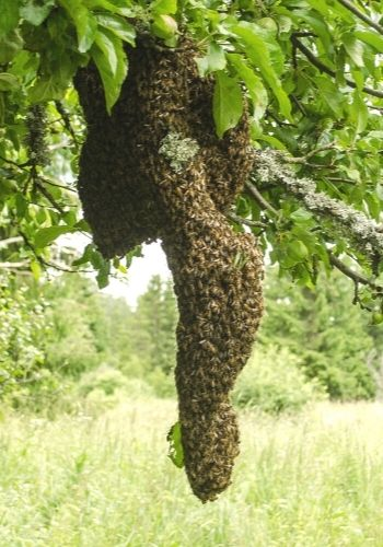 large bee swarm hanging in a tree