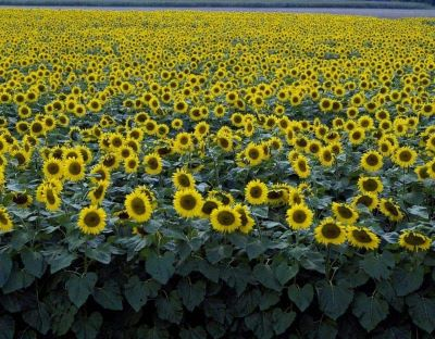 Field of sun flowers ready for pollination by bees image.