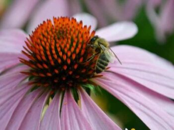 picture of a honey bee on coneflower