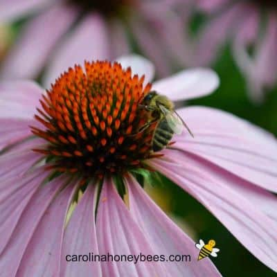 Drought Tolerant Plants for Bees-Easy to Grow