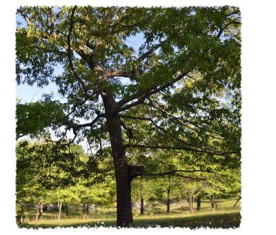 hive box swarm trap in a tree