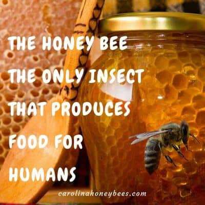 Honey - Honey bee is only insect produces food for humans