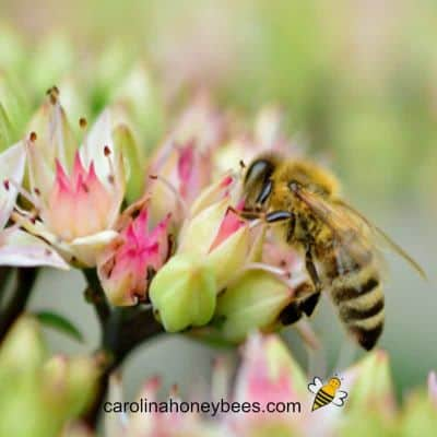 picture of a honey bee on drought resistant sedum flower
