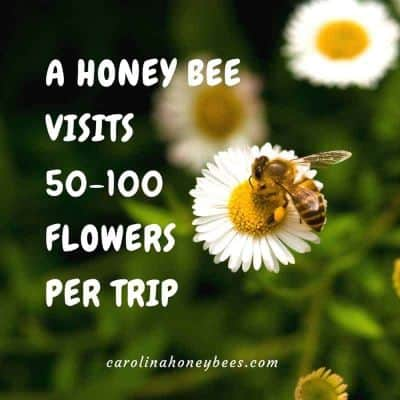 Bee on Flower. Honey bee foraging facts.