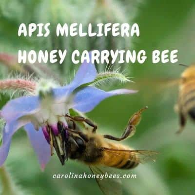 Honey bee fact - apis mellifera means honey carrying bee