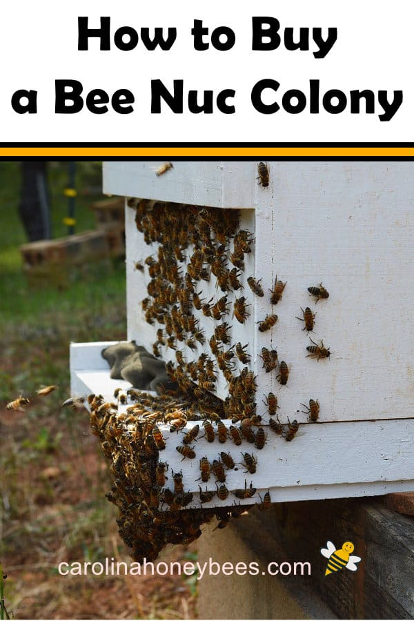 a honey bee nuc colony in a hive - how to buy a bee nuc colony