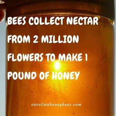 Honey bee fact - bees collect nectar
