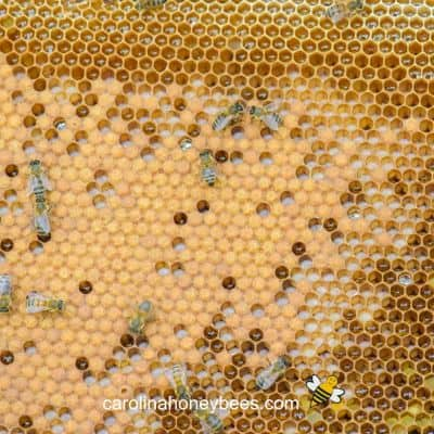 image of good brood pattern laid by a honey bee queen
