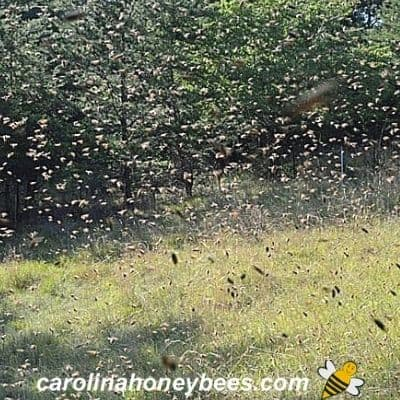 picture of a swarm of bees in flight