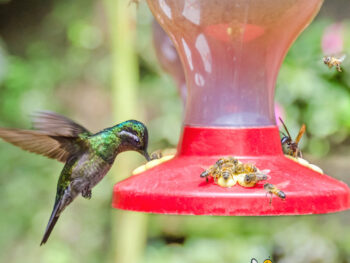 humming bird and bees at feeder