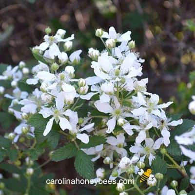 image of white flowering black berry bush